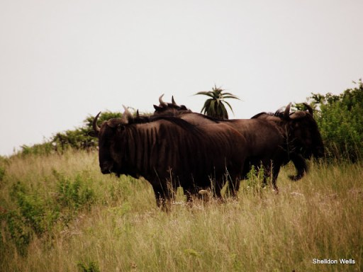 implausibility of wildebeest at tala game reserve, durban, south africa