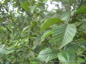 Aliso (Alnus acuminata)
