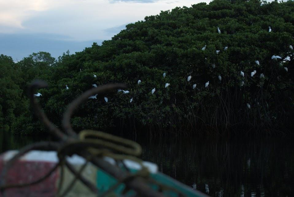 Aves Delta del Saloum - Senegal