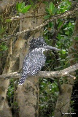 Giant Kingfisher at St.Lucia