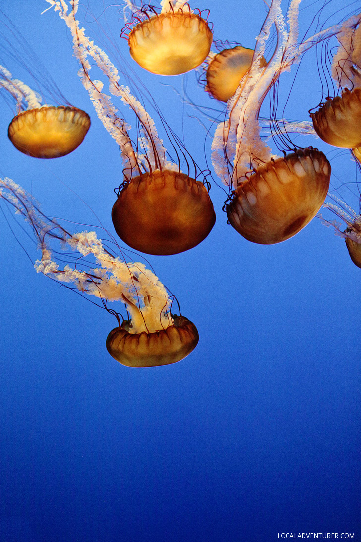 Pacific Sea Nettle (chrysaora fuscescens) // 13 Remarkable Species of Jellyfish at the Montery Aquarium.