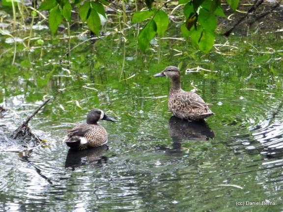 Pareja de patos canadienses en el humedal La Conejera