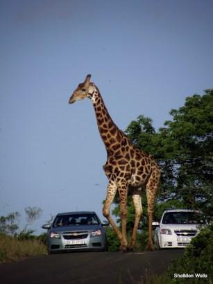 Giraffe doing what Giraffe do best
