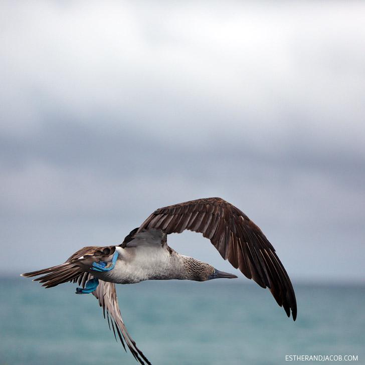 Galapagos Blue Footed bird in the Wetlands Isabela Galapagos Island.