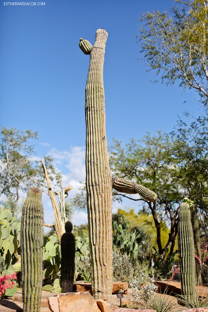 "Saguaro Cactus ""Giant of the Desert"" at the Ethel M Chocolate Factory and Botanical Cactus Gardens."