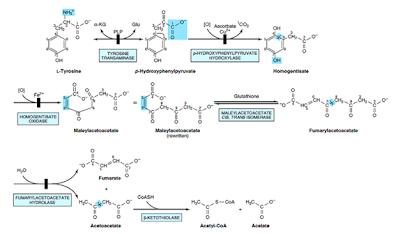 胺基酸與乙醯輔酶A(amino acid and acetyl-CoA formation) - 小小整理網站 Smallcollation