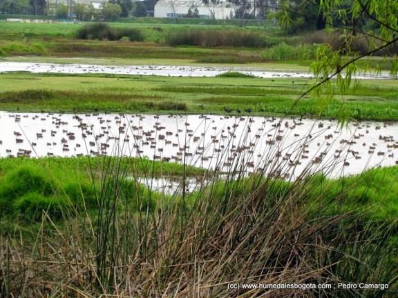 Miles de patos canadienses en el 2014