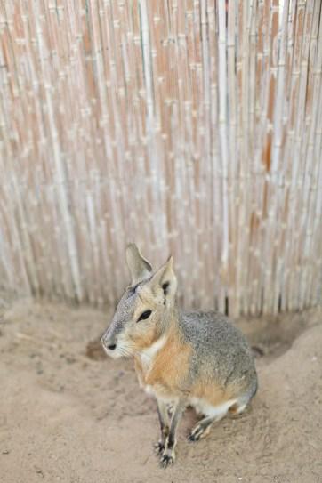 Patagonian Mara // Animals in Las Vegas Exotic Petting Zoo.
