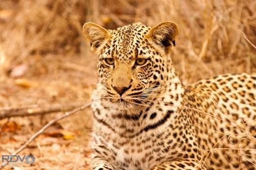 Leopard Cub 20130922 Ronald Varley