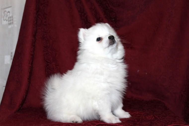 щенок японского шпица новосибирск