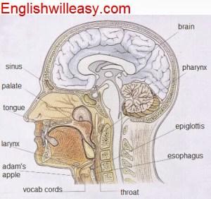 Internal Organs Diagram  Online Dictionary for Kids