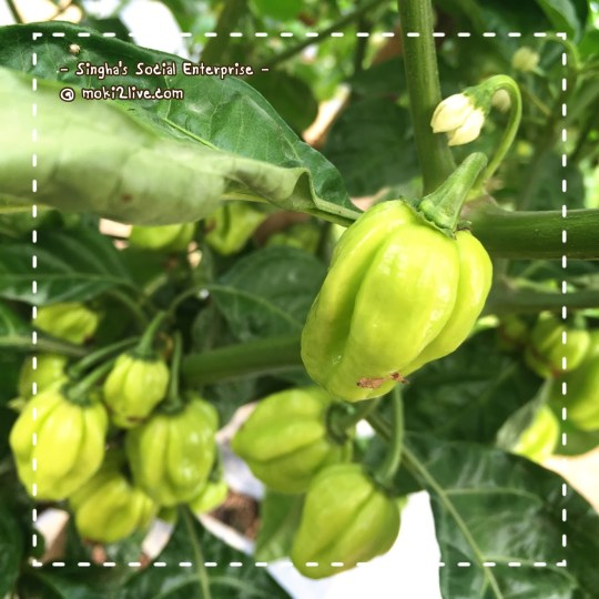 พริกฮาบาเนโร habanero pepper thai social enterprise