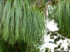 Bosque de pinos, Humedal EL Salitre