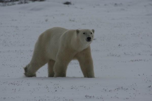 Bären zu beobachten wird nie langweilig