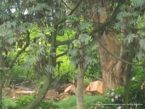 Acasia y tala de árboles, Humedal del San Viator