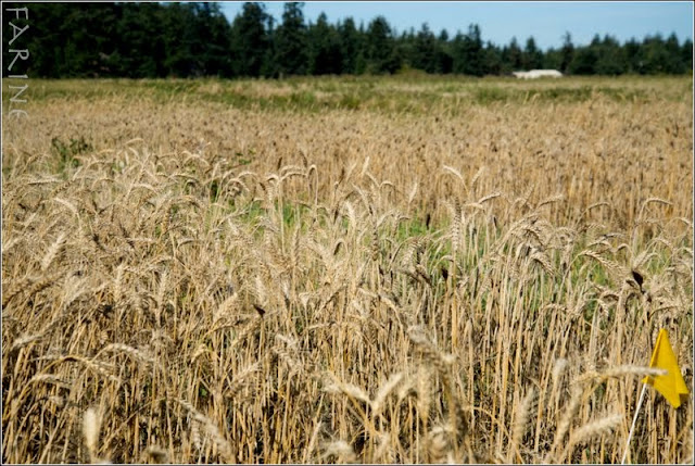 Whidbey Bread: Whole Grains for the Home Baker, a Bread Lab