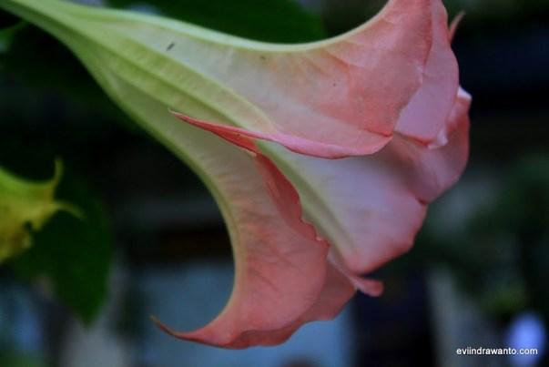 Gambar Bunga Kecubung merah muda atau pink