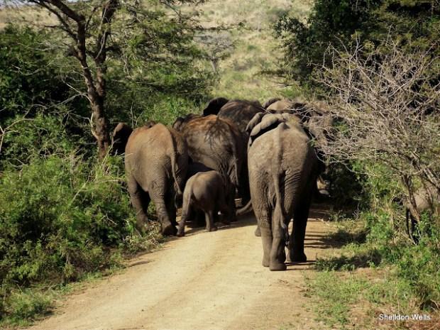 Parade of Elephant blocking the road in Hluhluwe Imfolozi Game Reserve