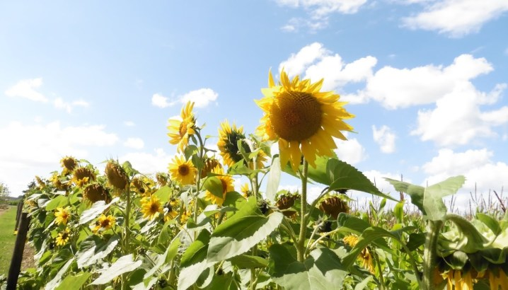 een veld zonnebloemen in Zonnebeke