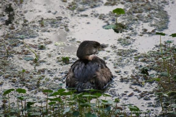 Pato zambullidor