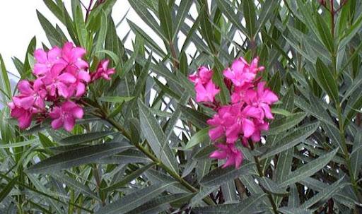 نبات الدفلة