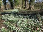 Snowdrops Near Snelston - Derbyshire