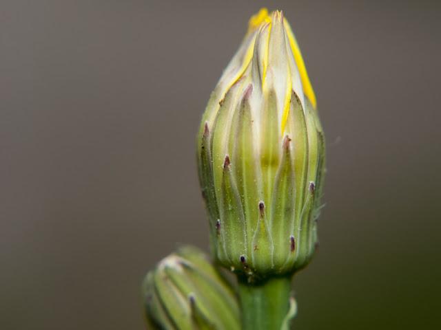 Dandelion Backyard Macro Photography Opteka HD II Nikon D90
