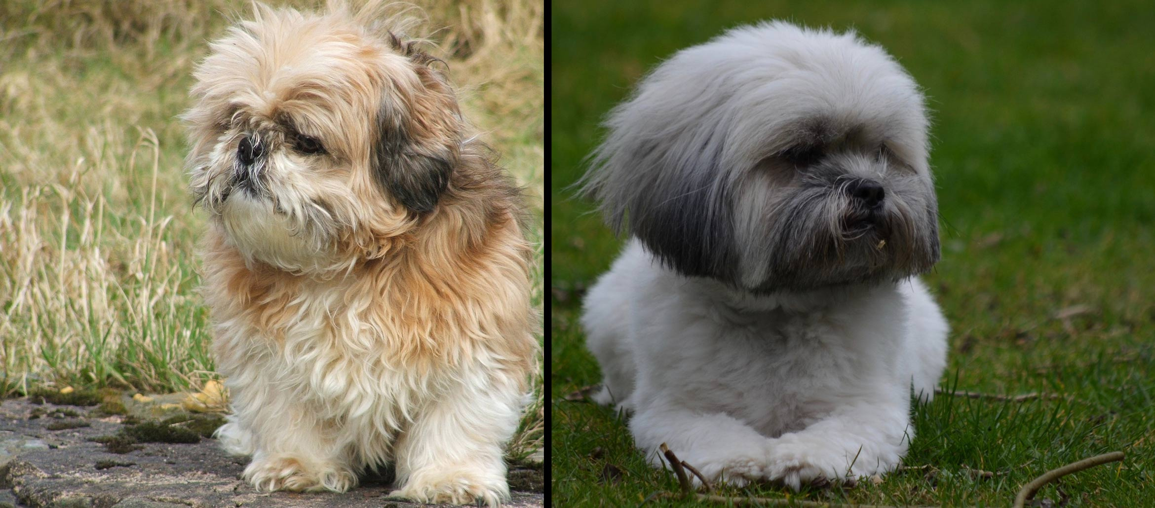 What Is The Difference Between A Lhasa Apso And A Shih Tzu Lhasalife