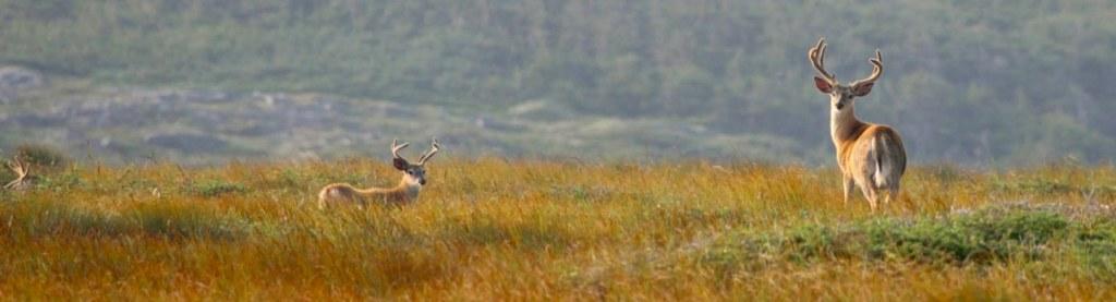 Les chevreuils à Langlade, Saint-Pierre et Miquelon
