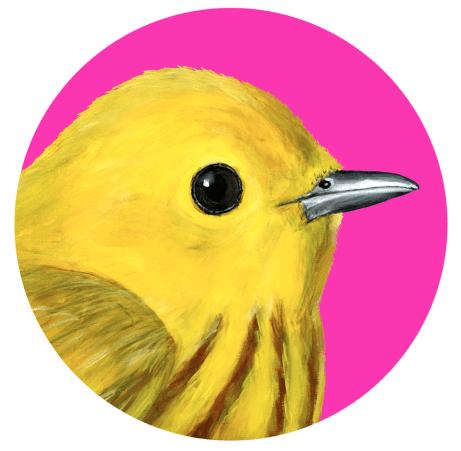 oiseaux des îles de la madeleine, la paruline jaune