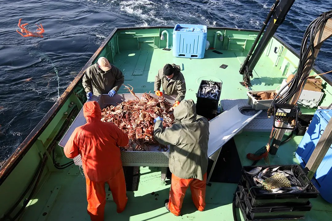 pêche au crabe des neiges - le tri des crabes