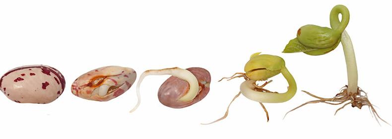 la germination d'une graine