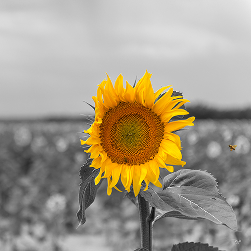 sunflower500x500.richardgaylephotography