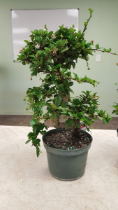 Fukien Tea 2