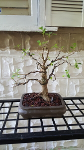 Judith Andrews Bonsai