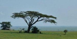 African Flat Top