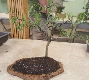 Finished African Flat Top bonsai.