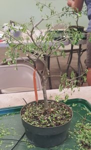 Brazilian Raintree Pre-Bonsai