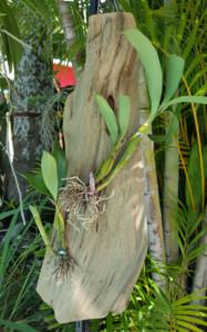 DChrysotoxum