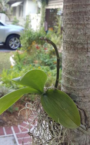 phalaenopsisbud