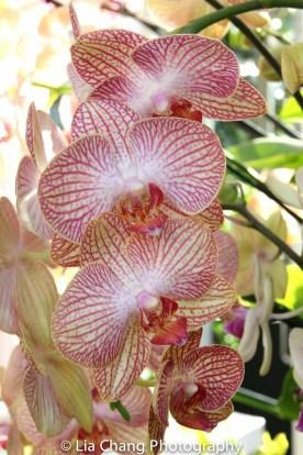 Moth Orchid Phalaenopsis Photo by Lia Chang