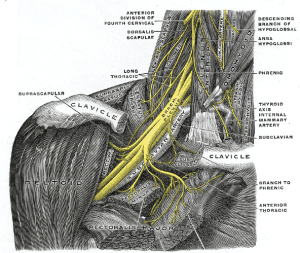Nerves of the arm and hands start as roots in the neck and shoulder.