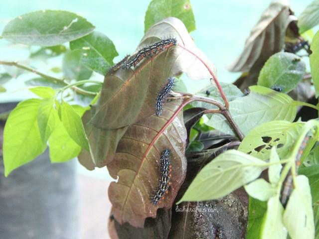 ulat-taman-kupu-kupu-gita-persada-lampung