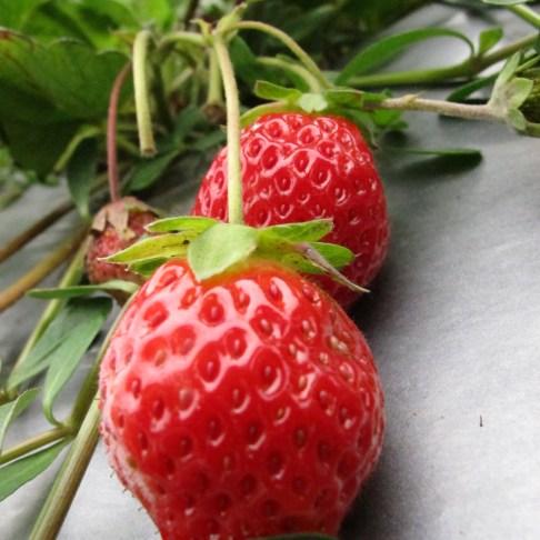 竹南第ㄧ家幸福草莓園