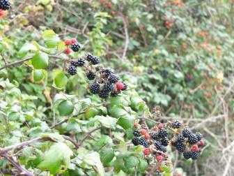 鄉間野黑莓