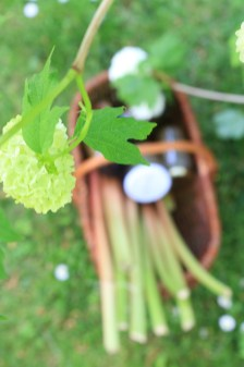 大黃根Rhubarbe