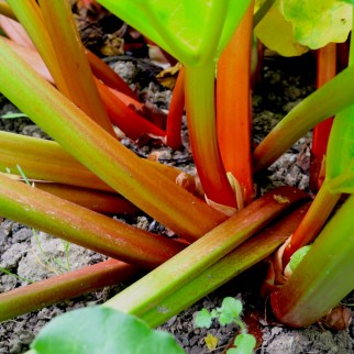 Rhubarbe大黃根