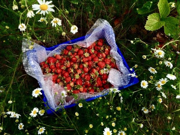 鄉村草莓園04