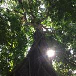 Daintree rainforest tree