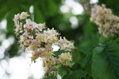 marronier-en-fleurs
